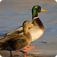 Duck for adoption in Aqua Dulce, California - Ducks