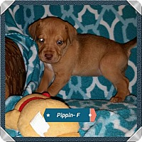 Adopt A Pet :: Holly's Puppy - Pippin - Midlothian, VA