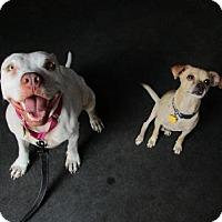 Adopt A Pet :: Shanti - Cedar Creek, TX