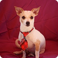 Chihuahua Mix Dog for adoption in Thorp, Wisconsin - Lola