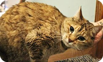 Domestic Shorthair Cat for adoption in West Des Moines, Iowa - Honey Sue