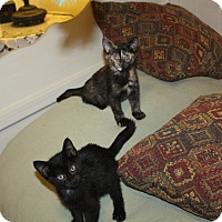 Domestic Shorthair Kitten for adoption in St. Louis, Missouri - Kappy