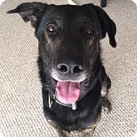Adopt A Pet :: Thor - Schaumburg, IL