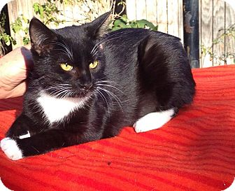 Domestic Shorthair Cat for adoption in Pulaski, Tennessee - Shadow