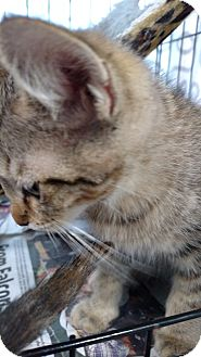 Domestic Shorthair Kitten for adoption in Yuba City, California - Sleepy