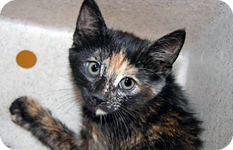 Domestic Mediumhair Kitten for adoption in Wildomar, California - 323242