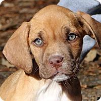 Adopt A Pet :: Cambri - Glastonbury, CT