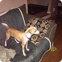 Adopt A Pet :: Laila - North Brunswick, NJ