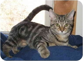 Domestic Shorthair Cat for adoption in Cincinnati, Ohio - Georgie kitten