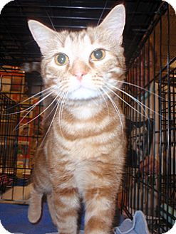 Domestic Shorthair Cat for adoption in Loudonville, New York - Tigger