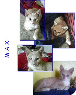 American Bobtail Cat for adoption in Bunnell, Florida - Max