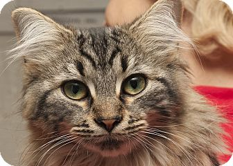 Domestic Longhair Kitten for adoption in Lombard, Illinois - Frankie Lynn Park