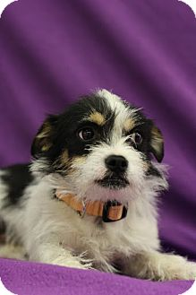 Terrier (Unknown Type, Small) Mix Puppy for adoption in Broomfield, Colorado - Ranger