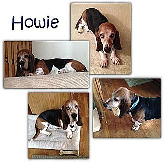 Basset Hound Dog for adoption in Marietta, Georgia - Howie