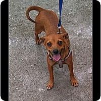 Adopt A Pet :: Roo - hollywood, FL