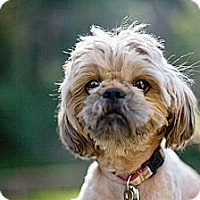 Adopt A Pet :: Henry-CUTE VIDEO - Sherman Oaks, CA