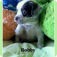 Adopt A Pet :: BOBBY - Higley, AZ