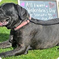 Adopt A Pet :: Sully - Goodyear, AZ