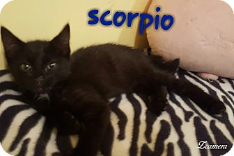 Domestic Shorthair Kitten for adoption in McDonough, Georgia - Scorpio
