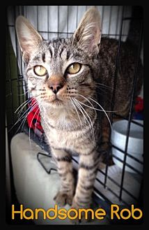 Domestic Shorthair Cat for adoption in Hartford City, Indiana - Handsome Rob