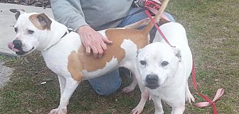 American Staffordshire Terrier Dog for adoption in Morriston, Florida - Lady