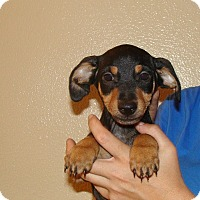 Adopt A Pet :: Zeppo - Oviedo, FL
