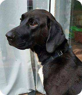 Great Dane/Labrador Retriever Mix Dog for adoption in Arlington, Virginia - Benny