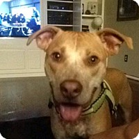 Pit Bull Terrier Dog for adoption in Springfield, Missouri - Charli