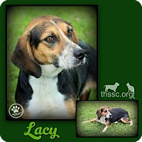 Beagle/Basset Hound Mix Dog for adoption in Sullivan, Indiana - Lacy