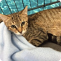 Domestic Shorthair Kitten for adoption in Mansfield, Texas - Shriek
