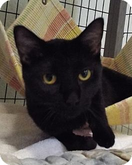 Domestic Shorthair Cat for adoption in Grants Pass, Oregon - Magic
