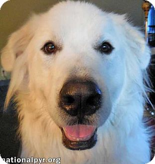 Great Pyrenees/Shepherd (Unknown Type) Mix Dog for adoption in Beacon, New York - Max in CT