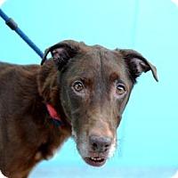 Labrador Retriever Mix Dog for adoption in New Orleans, Louisiana - Tiffany