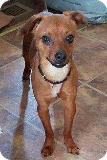 Dachshund/Chihuahua Mix Dog for adoption in Tonawanda, New York - Barney