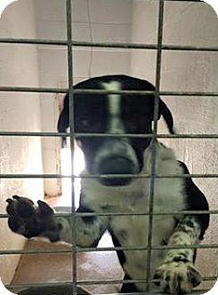 Border Collie Mix Dog for adoption in Aurora, Missouri - Ranger
