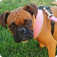 Adopt A Pet :: Shay - Fresno, CA