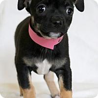 Adopt A Pet :: Acorn - Waldorf, MD