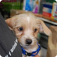Adopt A Pet :: Max - Brooklyn, NY