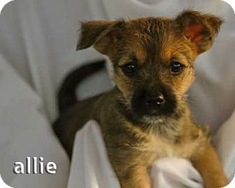 Scottie, Scottish Terrier/Shepherd (Unknown Type) Mix Puppy for adoption in Mission Viejo, California - Allie