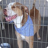Adopt A Pet :: Nakeeta's Nicky aka Max - Las Vegas, NV