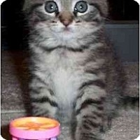 Adopt A Pet :: Sheeba - Reston, VA