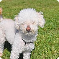 Adopt A Pet :: Bowie - Tumwater, WA