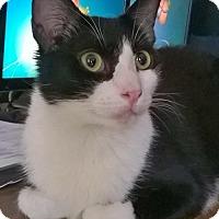 Adopt A Pet :: David: Friendly 14 M.O. Tux Boy! - Brooklyn, NY