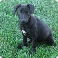 Adopt A Pet :: Caleigh - Schaumburg, IL
