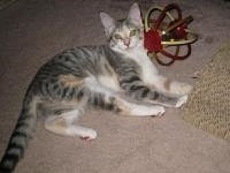 Domestic Shorthair Cat for adoption in Duluth, Georgia - Chelsea