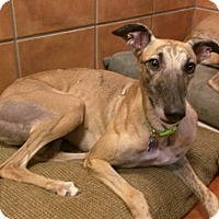 Adopt A Pet :: Chelsie - Tucson, AZ
