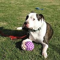 Adopt A Pet :: Vicente - Austin, TX