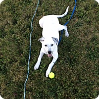 Adopt A Pet :: Polo **Courtesy Cupid** - West Allis, WI