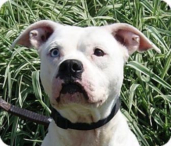 Boxer Mix Dog for adoption in Monroe, Michigan - Vena