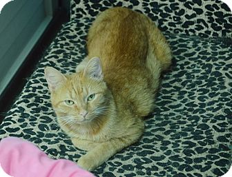 Domestic Shorthair Cat for adoption in Evansville, Indiana - Princess